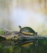 stock photo of turtle shell  - Florida Cooter Turtle On A Log - JPG