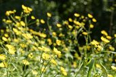 picture of buttercup  - yellow buttercup in ameadow near my house - JPG