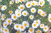 stock photo of moon-flower  - White Oxe - JPG