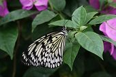 picture of nymphs  - Large Tree Nymph Butterfly resting on Bougainvillea - JPG