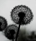 stock photo of dandelion  - Silhouette of dandelion flower  - JPG