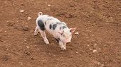 stock photo of baby pig  - Young baby spotted pig with black spots running in a farm field - JPG