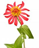 stock photo of zinnias  - Red Zinnia Elegans flower Isolated on White Background - JPG