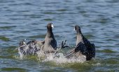stock photo of battle  - Two American coots  - JPG