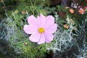 stock photo of cosmos flowers  - Pink Cosmos flower or kosmeya closeup with yellow petals - JPG