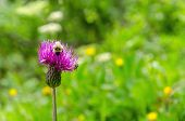 pic of pollen  - A bee collects pollen from a purple flower on a background of green meadow - JPG