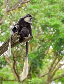 picture of rainforest  - Baby colobus monkey with its mom sitting on a tree in rainforest - JPG