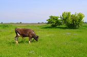 foto of calves  - Calf on a green expanse of meadow grazing - JPG