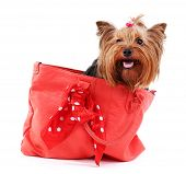 picture of yorkshire terrier  - Cute Yorkshire terrier dog in red bag isolated on white - JPG