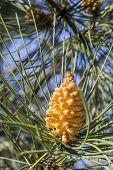image of pinus  - Stone pine  - JPG