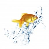 image of goldfish  - Goldfish in water splashes - JPG