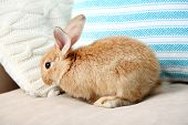 picture of dwarf rabbit  - Cute rabbit on sofa - JPG