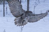 picture of snow owl  - A lone Great Grey Owl in a winter scene - JPG