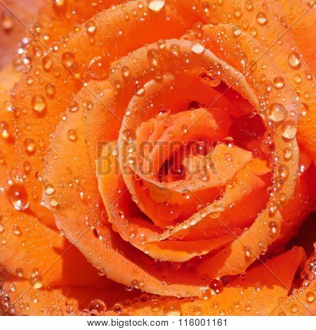 Pink rose with drops of dew