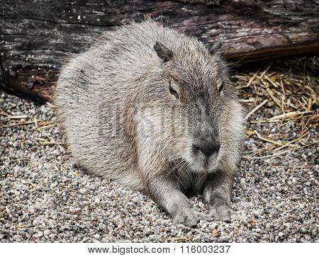 Capybara Portrait (hydrochoerus Hydrochaeris), Animal Scene