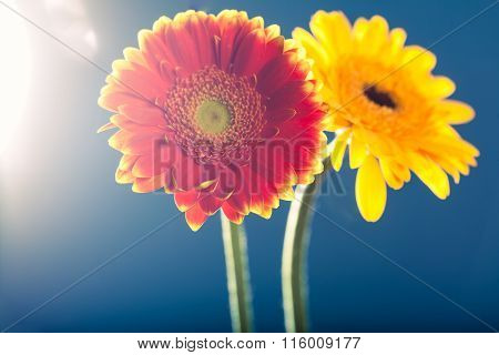 Two Gerbera Daisies, Against The Light, Blue Background
