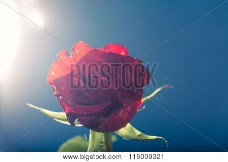 Red Rose, Against The Light, Blue Background