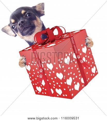 Cute Dog Chihuahua Give A Valentine Gift