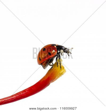 Single Ladybug On Blade Isolated On White Background
