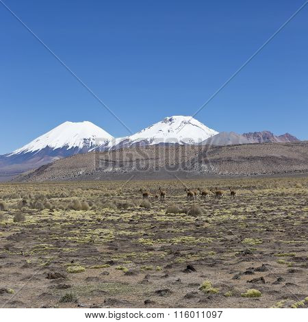Group Of Vicuña (vicugna Vicugna) Or Vicugna