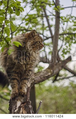 Siberian cat's sideview. Cat on apple tree. Close up. Brown cat.