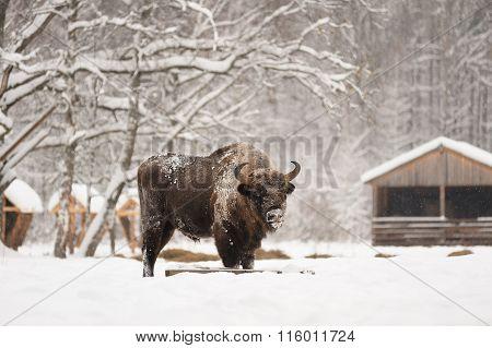 Mature Male European Bison Feeding In Deep Snow In Orlovskoye Polesie National Park In Russia