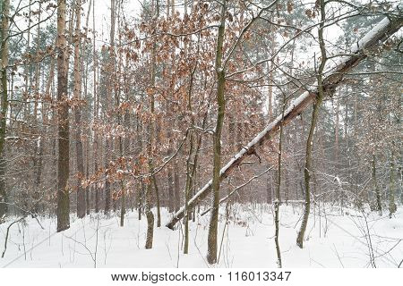 Forest After Snowfall.