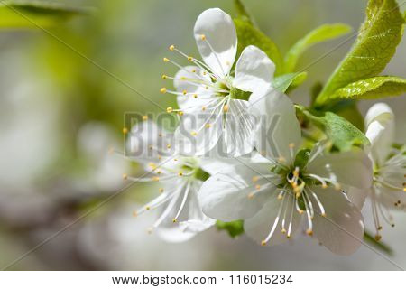 Apple blossoms macro view. Blossom tree. White flowers in spring time. Soft focus.