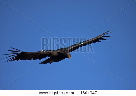 Endangered California condor