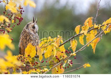 Long eared owl sitting in a tree