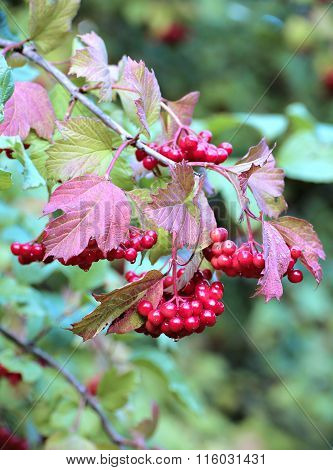 Bright Red Bunch Of Berries Of Viburnum On The Branches