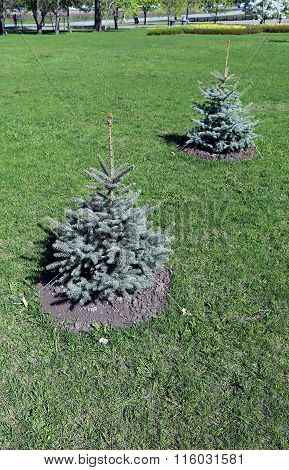 Alley Of The Young Seedlings Blue Spruce