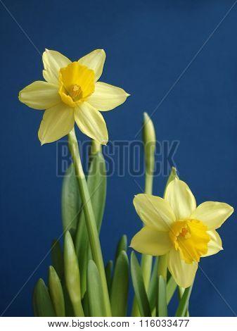 yellow jonquil