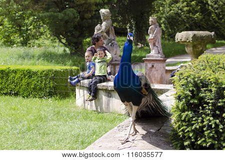Peacock And Family In A Garden
