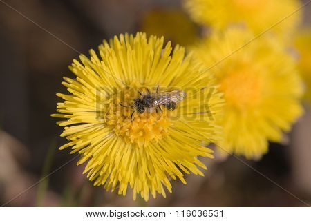 Insect On Coltsfoot Flowers