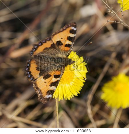 Butterfly On Coltsfoot