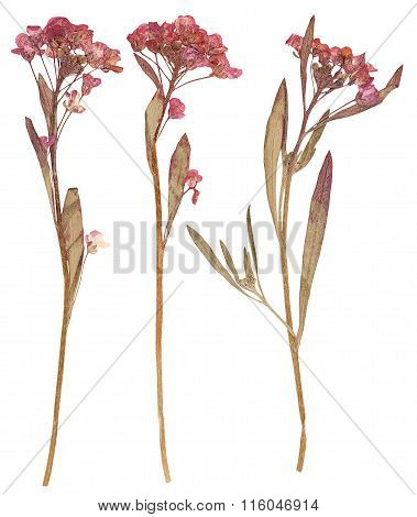 Pressed Flowers, Isolated