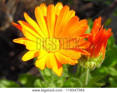 Beautiful and bright orange flower of calendula