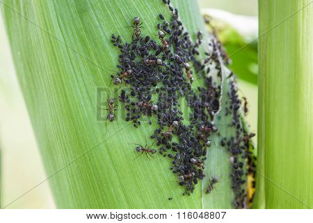 Aphids Feed On Sap Corn