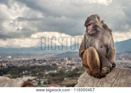 Rhesus Monkey Sitting