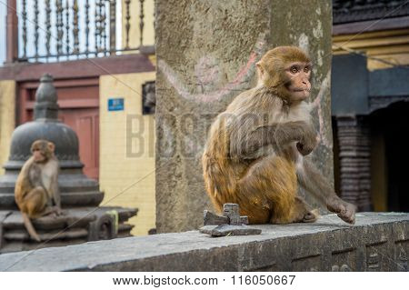 Two Rhesus Macaque Monkeys