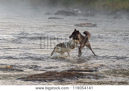 Two Grey Wolves (canis Lupus) Play In River