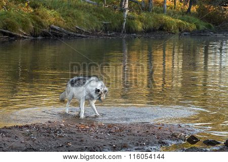 Grey Wolf (canis Lupus) Shaking Off Water
