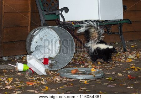 Striped Skunk (mephitis Mephitis) Tail Up By Trash Can