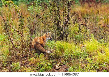 Red Fox (vulpes Vulpes) Turned Right