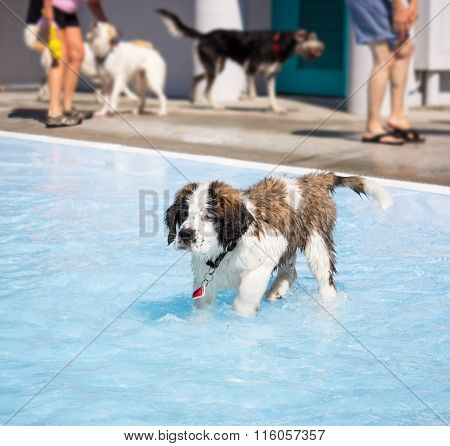 cute saint bernard puppy in a pool