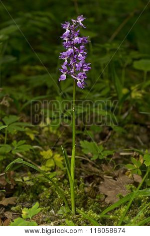 Anacamptis morio, green-winged orchid