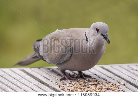 Collared Dove Streptopelia decaocto perched on decking