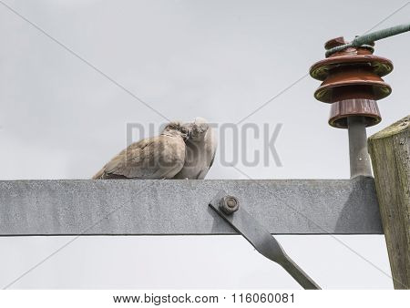Collared Doves Streptopelia decaocto perched on an electricity pylon