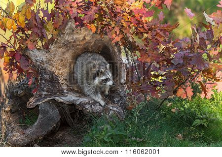 Raccoon (procyon Lotor) Looks Right From Log